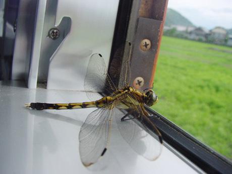 n-dragonfly