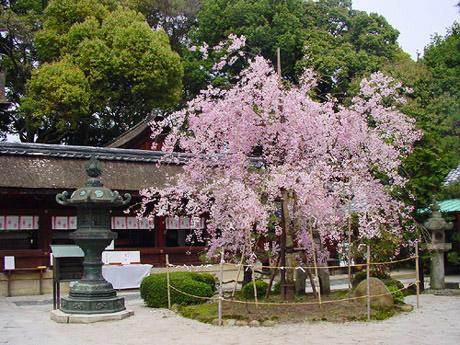 Imasakura