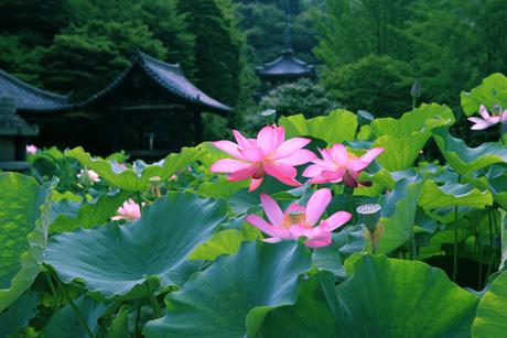 Lotus02_2