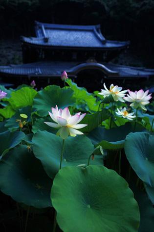 Lotus14