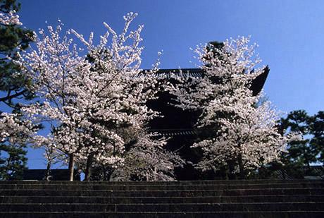 Sakura76